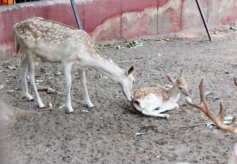 Download 鹿 库存照片. 图片 包括有 野生生物, 动物园, browne, 的treadled, 题头, 埃及, 敌意 - 59100888