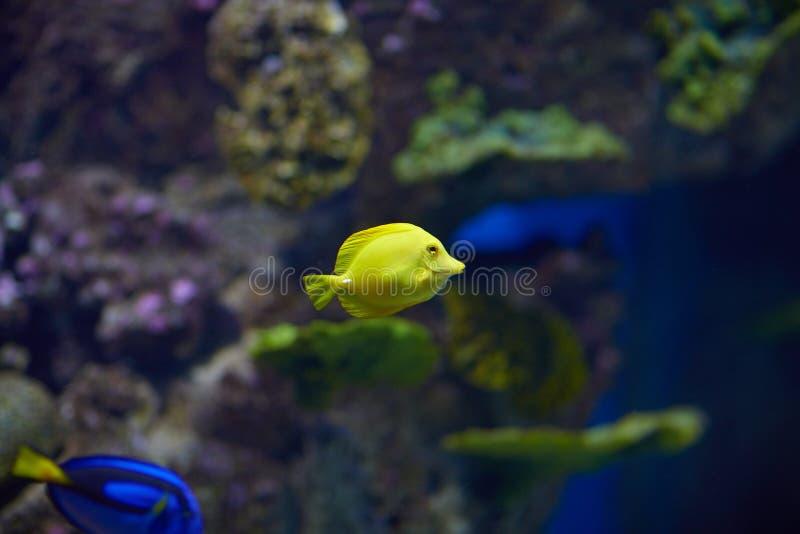 Download 鱼 库存图片. 图片 包括有 游泳, 颜色, 宠物, 菲律宾, 坦克, 女演员, 冒险家, 礁石, 气候 - 62528243