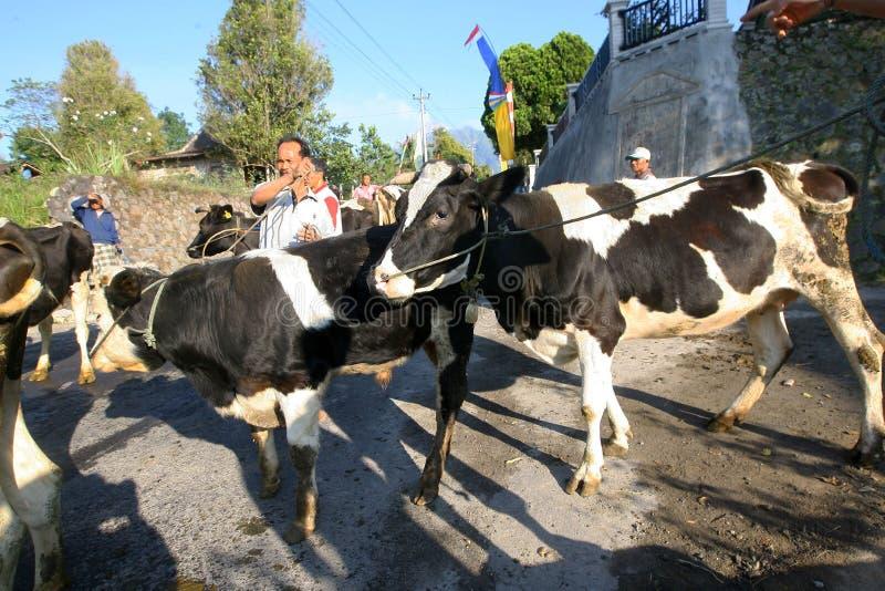 Download 牛 图库摄影片. 图片 包括有 节日, 中央, 印度尼西亚, java, 的treadled, 蓄牧者, 成群 - 62538392