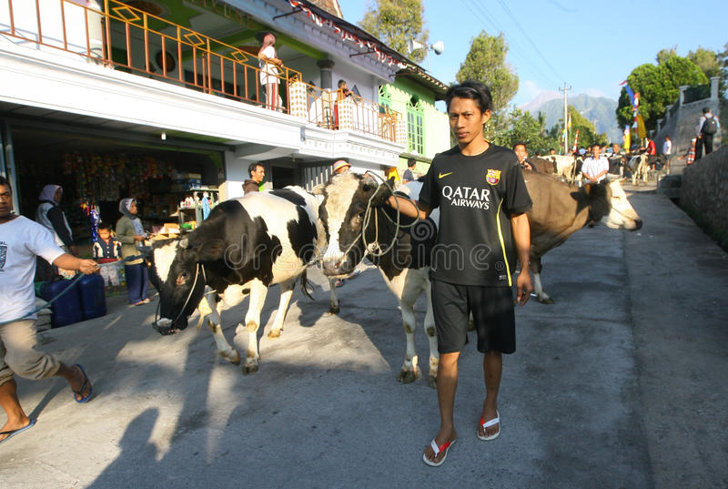 Download 牛 编辑类库存图片. 图片 包括有 印度尼西亚, 通信工具, java, 蓄牧者, 重新创建, 的treadled - 62538424