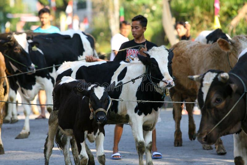 Download 牛 图库摄影片. 图片 包括有 java, 的treadled, 家畜, 牛奶店, 印度尼西亚, 成群, 蓄牧者 - 62538432