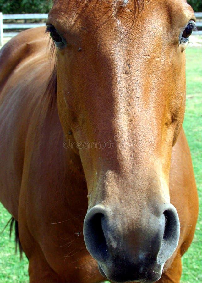 Download 马 库存图片. 图片 包括有 browne, 鼻子, 小马, 哺乳动物, 大农场, 宠物, 关闭, 敌意, 马背 - 64327