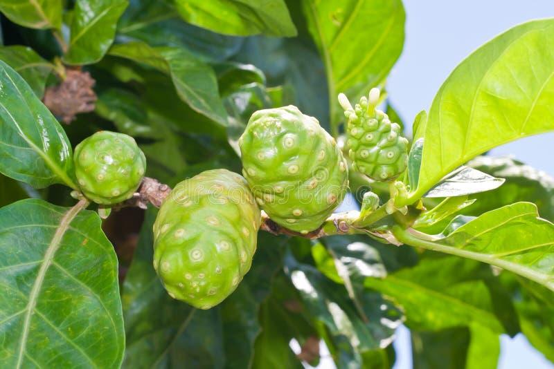 Noni Frucht auf Baum lizenzfreie stockbilder