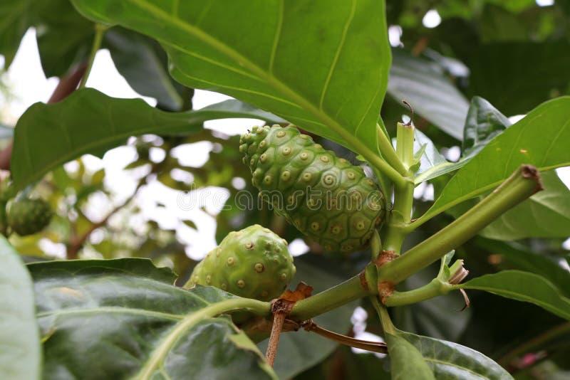 Noni-Frucht oder Morinda-citrifolia auf dem Baum Noni wird manchmal Verhungernfrucht genannt stockfotos