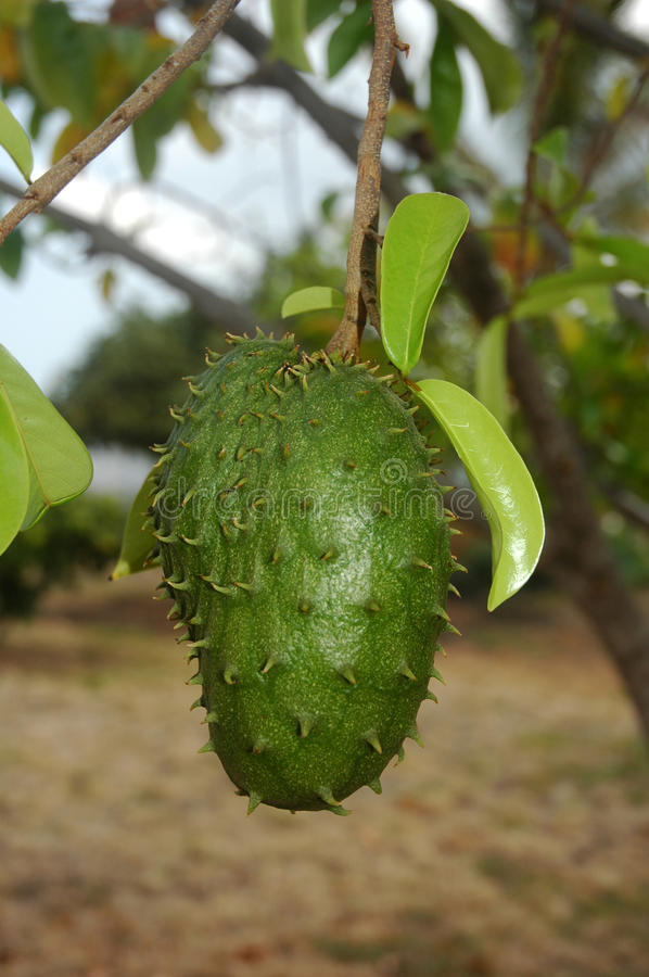 Download Noni Fruit stock photo. Image of fruit, nature, leaves - 20539806