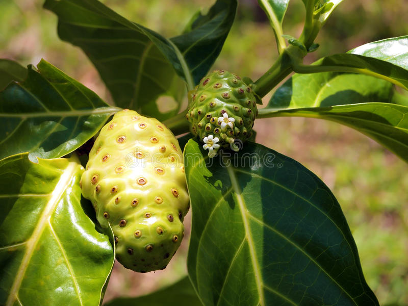 Noni fruit and flower royalty free stock images