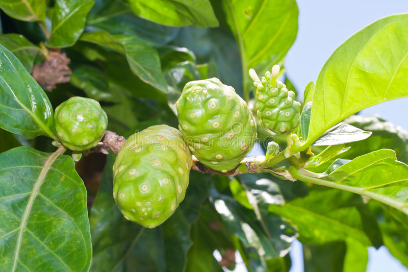 Noni Fruit On Tree Royalty Free Stock Images - Image: 20469109