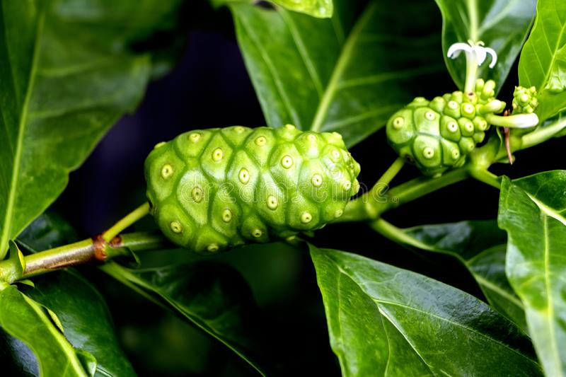 Noni fruits or great morinda is a plant that is used to herb and food.  royalty free stock image