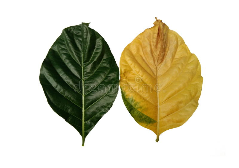 Noni leaves old and young. Noni green and yellow leaves. Young and old comparative concept. Morinda citrifolia, Great morinda, Indian mulberry, beach mulberry stock photography