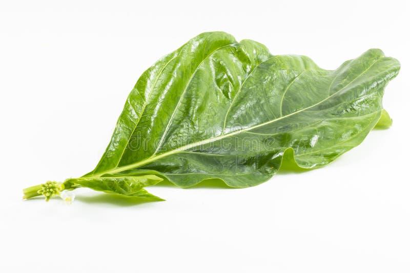 Noni liść na białym tle Noni owoc używać jako jedzenie jest zielarska i liść obrazy stock