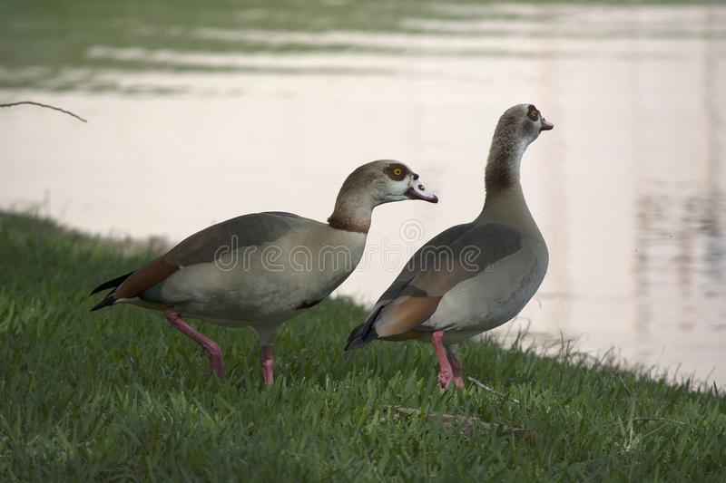 Nonnative Egyptian Geese pair in south Florida next to a tranquil lake. Nonnative Egyptian Geese pair in south Florida next to a tranquil lake showing soft royalty free stock photography