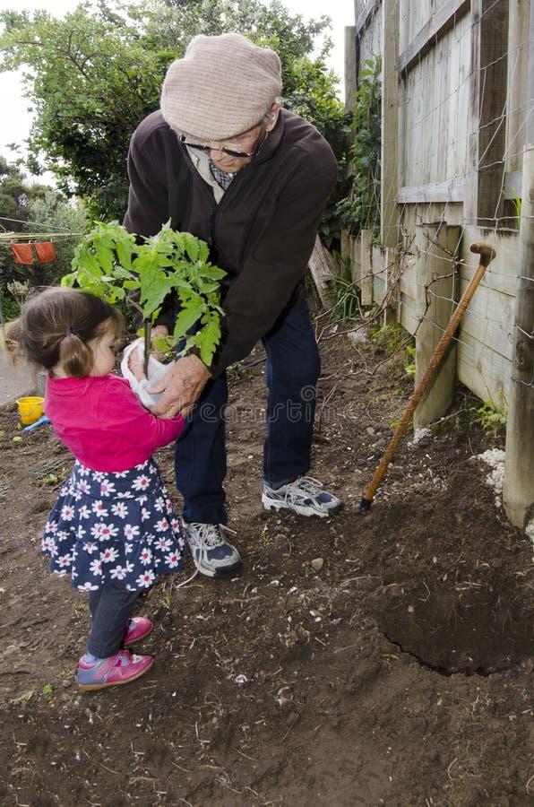 Nonno e nipote che piantano la pianta di pomodori immagini stock
