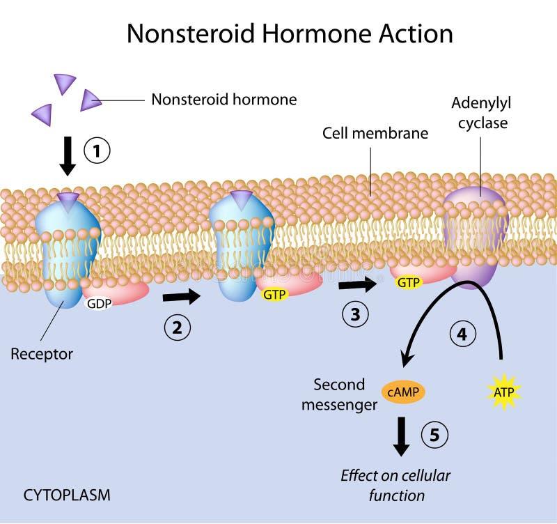 Nonsteroid激素活动 库存例证