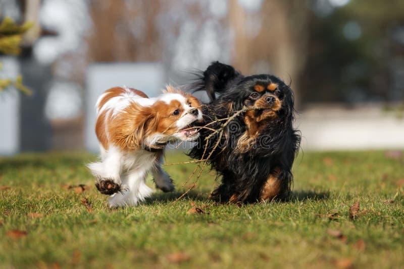 Nonszalancki królewiątka Charles spaniela psów bawić się obrazy royalty free