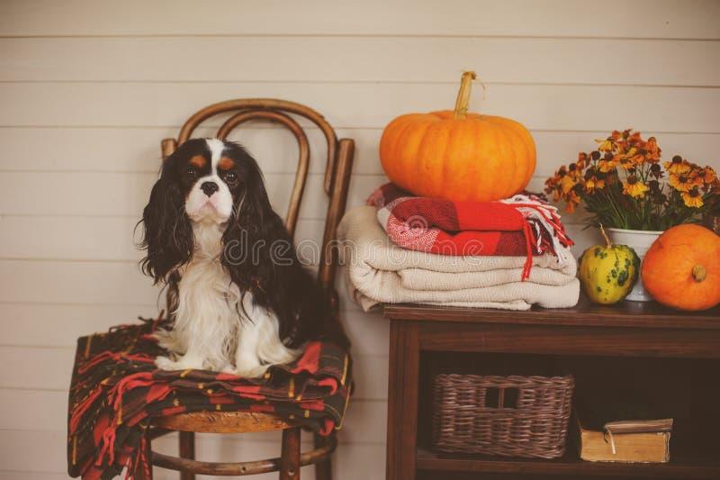 Nonszalancki królewiątka Charles spaniela psa obsiadanie na krześle w drewnianym dom na wsi zdjęcia stock