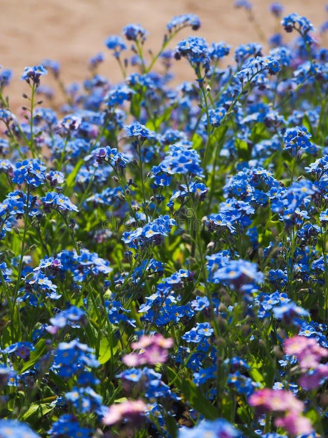 Nontiscordardime di fioritura Fondo blu-rosa del fiore di piccoli fiori immagini stock libere da diritti