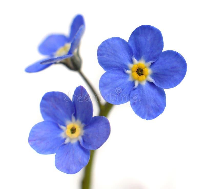 Nontiscordardime Victoria Blue Flower Isolated su bianco fotografia stock libera da diritti