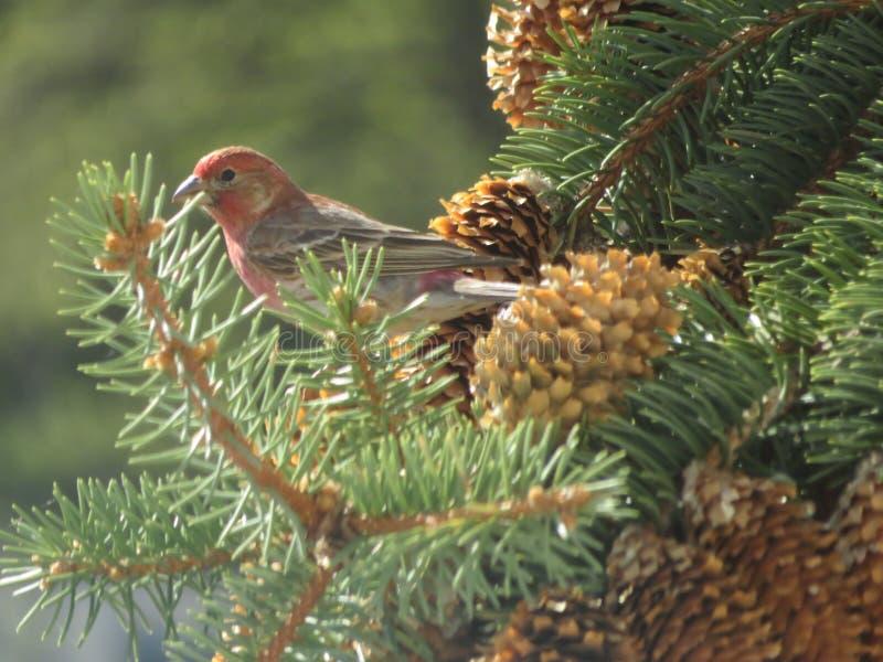 Noordamerikaans Finch Bird op een Pijnboomboom 2 royalty-vrije stock afbeeldingen