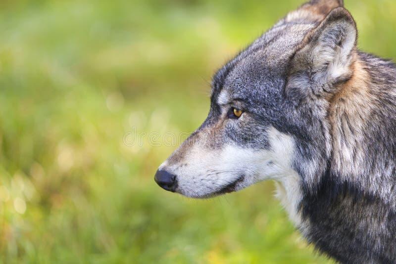 Noordamerikaans Gray Wolf, Canis Lupus stock afbeelding