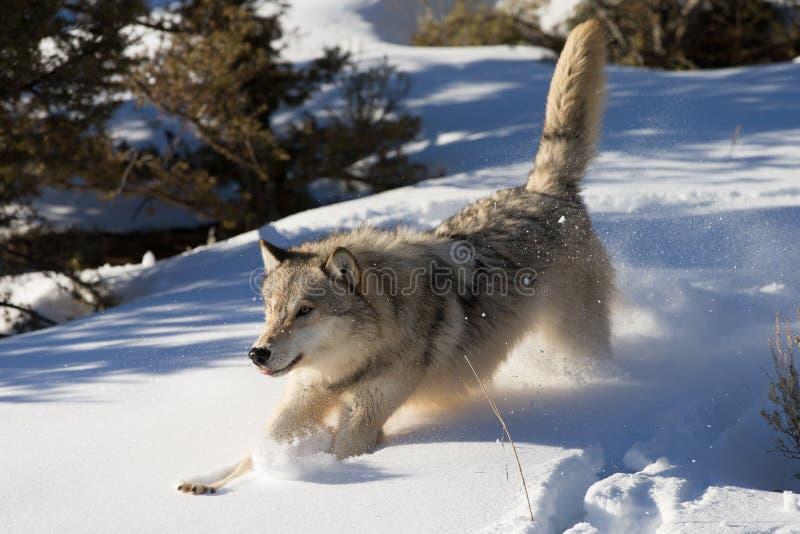 Noordamerikaans Grey Wolf in sneeuw stock fotografie