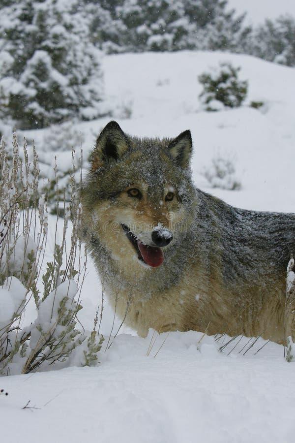 Noordamerikaanse Grijze Wolf in sneeuw royalty-vrije stock afbeelding