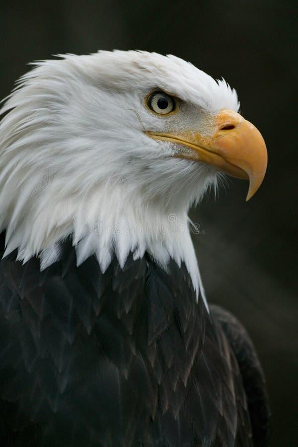 Noordamerikaanse kale adelaar stock fotografie