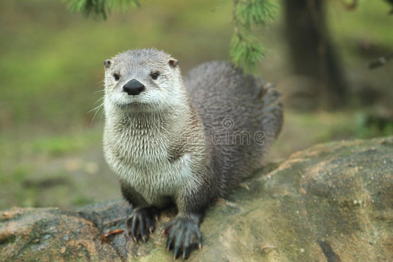 Noordamerikaanse rivierotter stock foto's