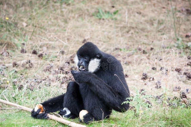 Noordelijk eten wit-cheeked gibbon stock afbeelding
