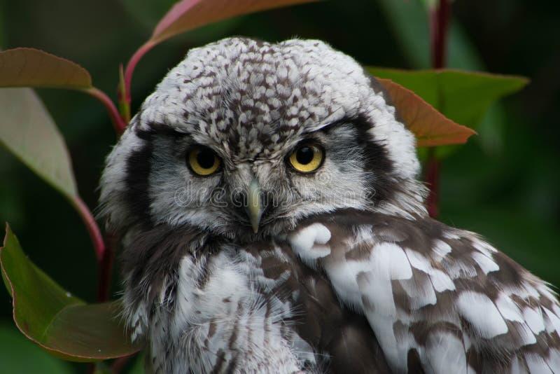 Noordelijk Hawk Owl Staredown royalty-vrije stock fotografie