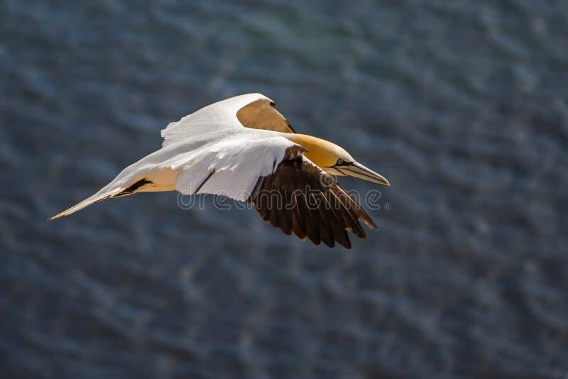 Noordelijk Jan-van-gent die in Helgoland vliegen royalty-vrije stock afbeelding