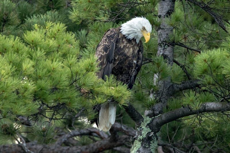 Noordelijk Kaal Eagle in groene pijnboom stock fotografie