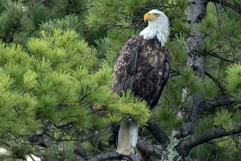 Noordelijk Kaal Eagle in groene pijnboom stock foto's