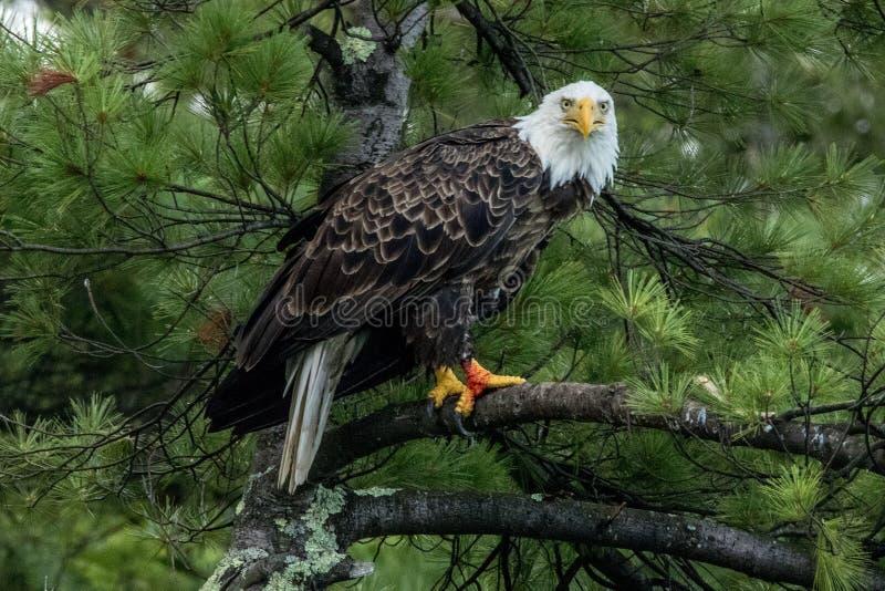 Noordelijk Kaal Eagle in groene pijnboom royalty-vrije stock afbeelding