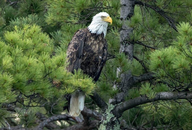 Noordelijk Kaal Eagle in Pijnboom royalty-vrije stock foto's
