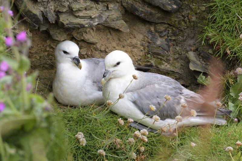Noordelijk Noordse stormvogel volwassen paar, op nest stock afbeelding