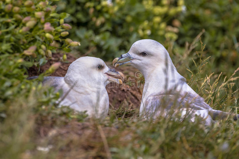 Noordelijk noordse stormvogelpaar royalty-vrije stock foto