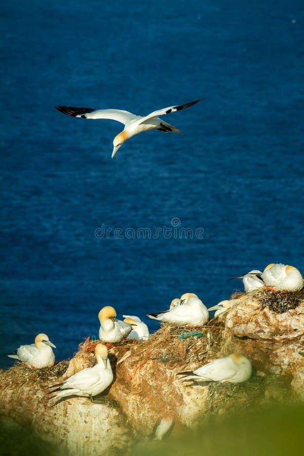 Noordelijke bassanus van Jan-van-gentmorus, het koppelen jan-van-gent op klippen, vogelpaar het spelen met featherbird die in de  stock foto's