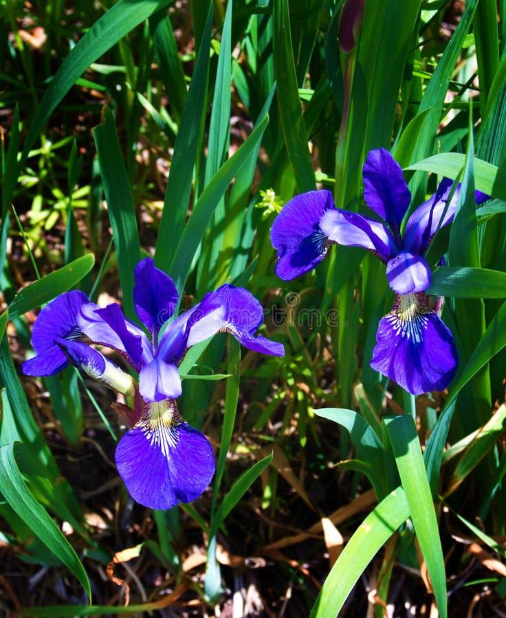 Noordelijke Blauwe Vlagiris - versicolor Iris stock foto