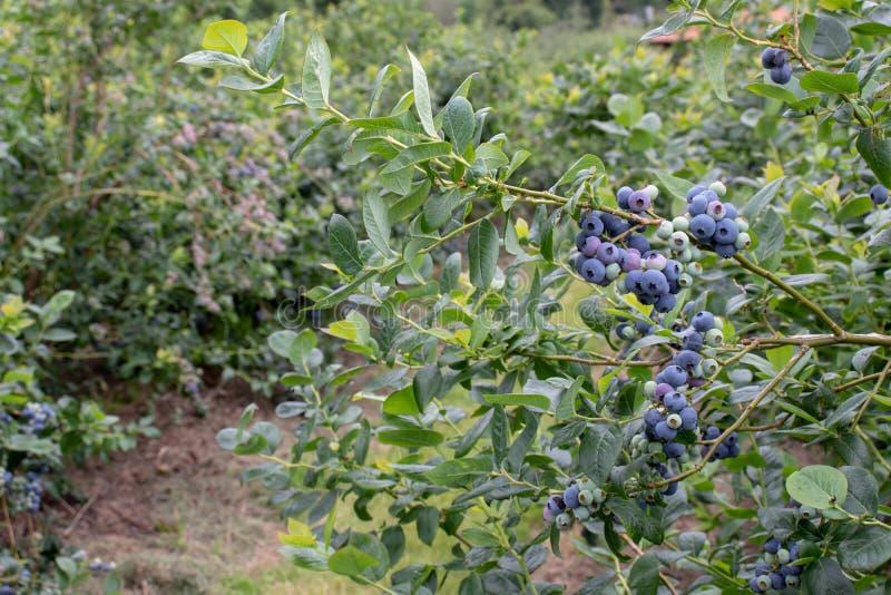 Noordelijke de bessen en de bladerentak van de highbushbosbes stock fotografie