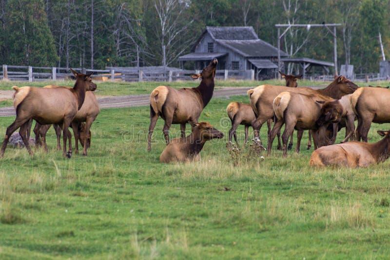 Noordelijke Elanden in een bos van Canada royalty-vrije stock foto