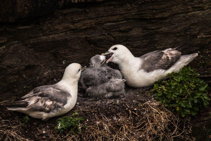 Noordelijke glacialis van noordse stormvogelfulmarus in Schotland, Groot-Brittannië royalty-vrije stock afbeeldingen
