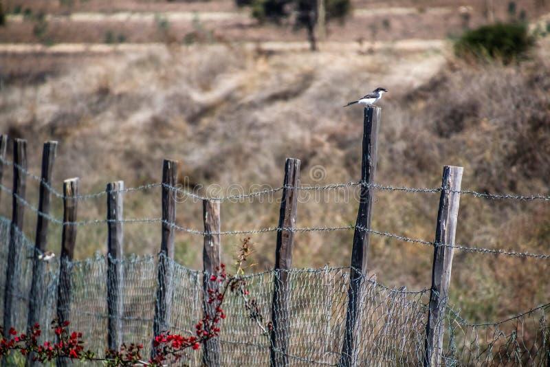Noordelijke grijs-geleide muszitting op een omheining stock foto's