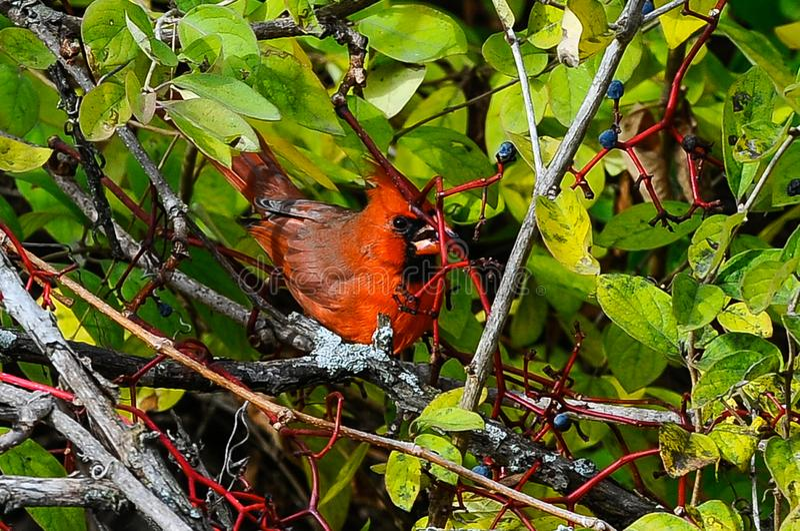 Noordelijke hoofd rode vogel royalty-vrije stock afbeeldingen