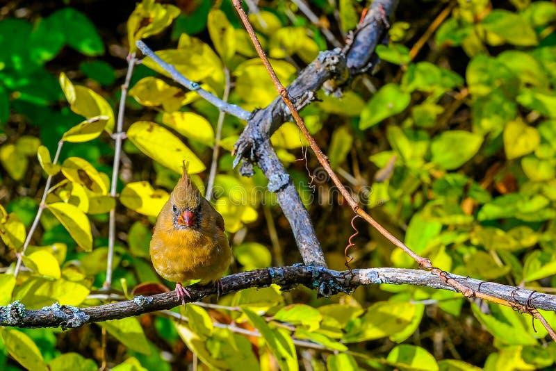 Noordelijke hoofd rode vogel royalty-vrije stock foto