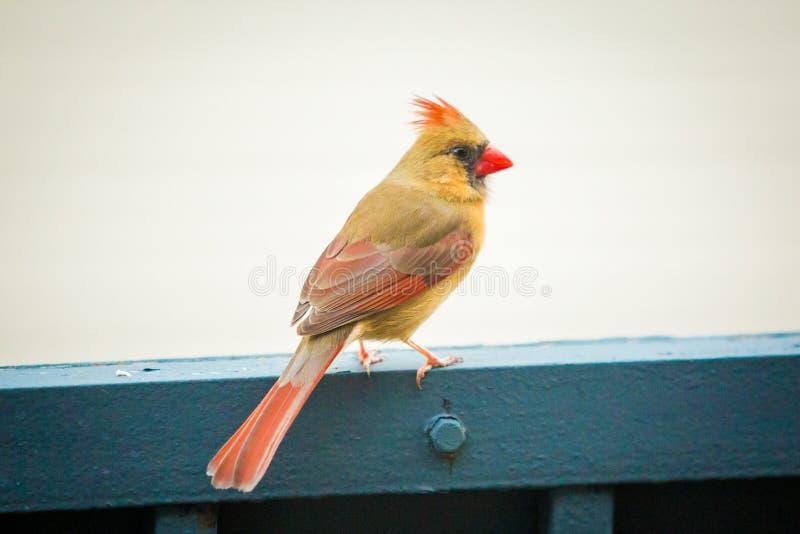 Noordelijke hoofd vrouwelijke vogel buiten stock foto