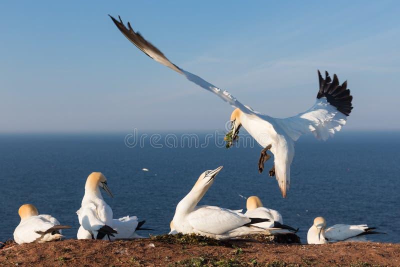 Noordelijke jan-van-gent die een nest bouwen bij Duits eiland Helgoland stock fotografie
