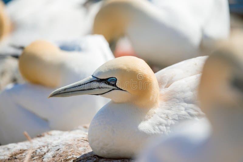 Noordelijke jan-van-gentzitting op het nest royalty-vrije stock foto's