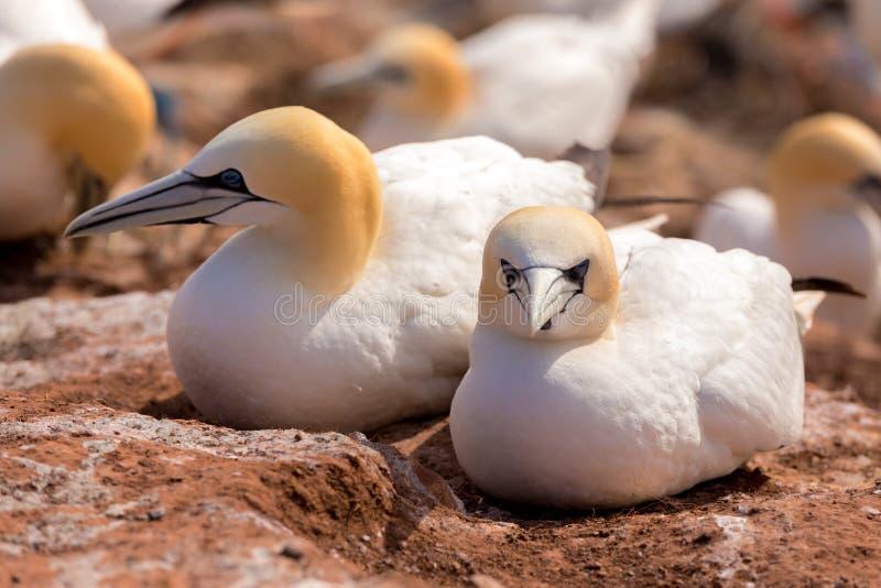 Noordelijke jan-van-gentzitting op het nest royalty-vrije stock afbeeldingen