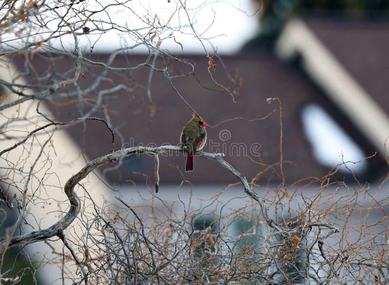 Noordelijke Kardinaal in een Tak tijdens de winter in Michigan royalty-vrije stock fotografie