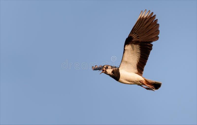 Noordelijke kievit tijdens de vlucht terwijl het schreeuwen in blauwe hemel royalty-vrije stock foto's